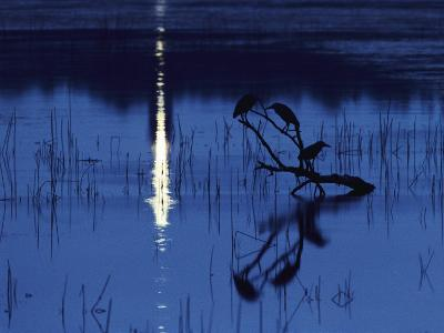 Herons Silhouetted on a Branch in a Chincoteague Marsh-Medford Taylor-Photographic Print