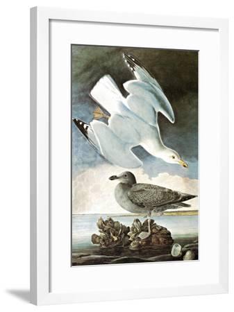 Herring Gull & Black Duck-John James Audubon-Framed Art Print