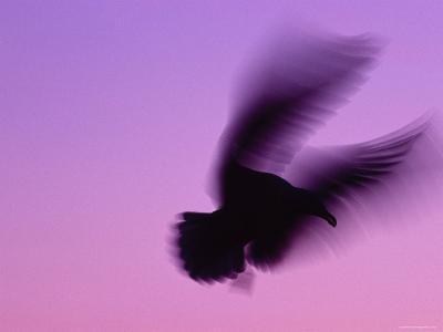 Herring Gull Flying, Norway-Niall Benvie-Photographic Print