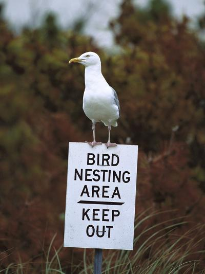Herring Gull (Larus Argentatus) Adult Perched on 'Keep Out' Sign, Long Island, New York-Tom Vezo/Minden Pictures-Photographic Print