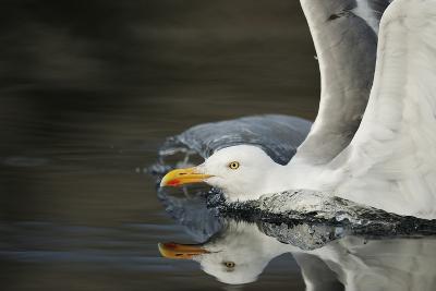 Herring Gull (Larus Argentatus) Landing on Water, Flatanger, Nord Tr?ndelag, Norway, August 2008-Widstrand-Photographic Print