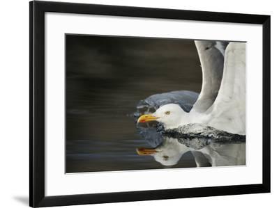Herring Gull (Larus Argentatus) Landing on Water, Flatanger, Nord Tr?ndelag, Norway, August 2008-Widstrand-Framed Photographic Print