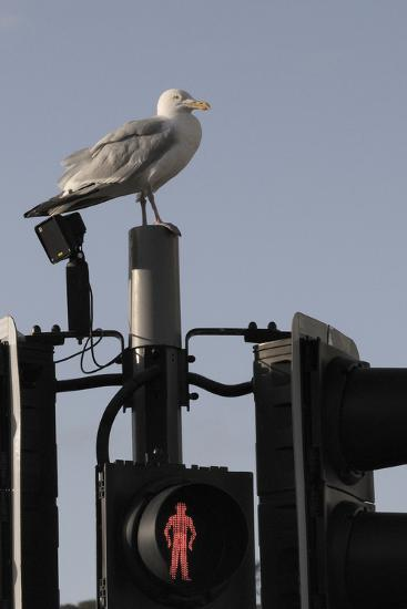 Herring Gull (Larus Argentatus) Perched on Traffic Light Support Post by a Pedestrian Crossing-Nick Upton-Photographic Print