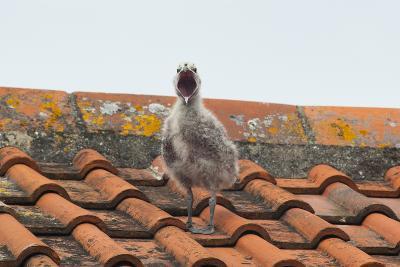 Herring Gull--Photographic Print