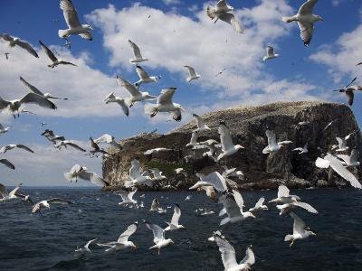 Herring Gulls, Following Fishing Boat with Bass Rock Behind, Firth of Forth, Scotland, UK-Toon Ann & Steve-Photographic Print