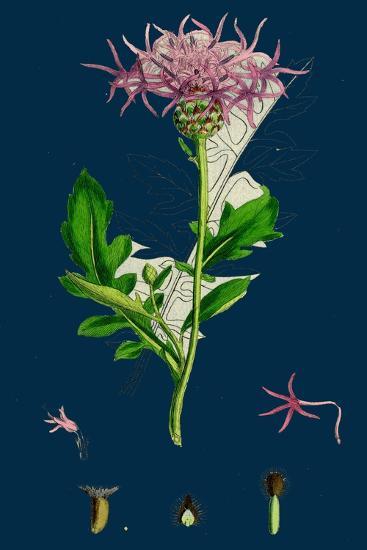 Hesperis Matronalis; Dame's Rocket--Giclee Print