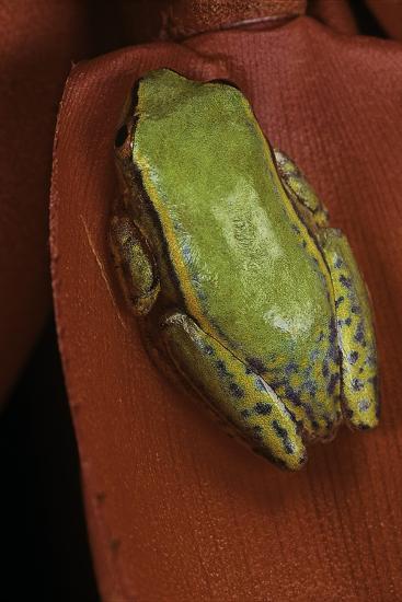 Heterixalus Betsileo (Betsileo Reed Frog)-Paul Starosta-Photographic Print