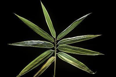 Hibanobambusa Tranquillans 'Shiroshima' (Shiro-Shima-Iny?inyouchikuzoku, Bamboo) - Leaf-Paul Starosta-Photographic Print