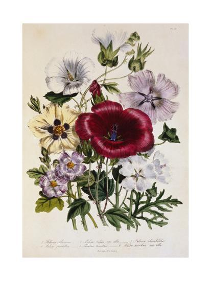 Hibiscus Africanus Botanical Illustration--Giclee Print