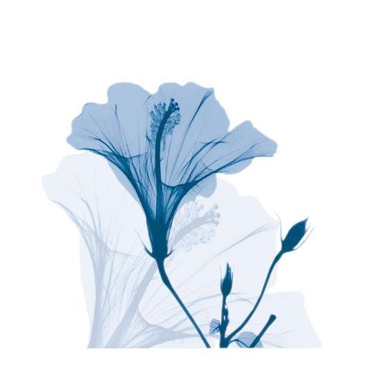 Hibiscus Chiller-Albert Koetsier-Art Print