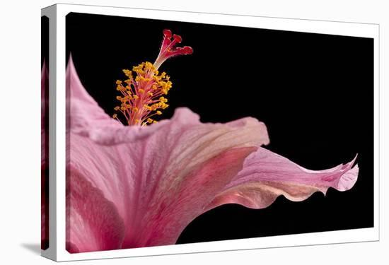 Hibisucs 1-Barry Seidman-Gallery Wrapped Canvas