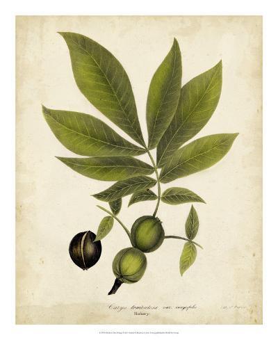 Hickory Tree Foliage-John Torrey-Giclee Print