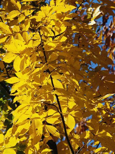 Hickory Tree in Golden Fall Color-Raymond Gehman-Photographic Print
