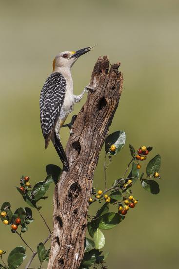 Hidalgo County, Texas. Golden Fronted Woodpecker in Habitat-Larry Ditto-Photographic Print
