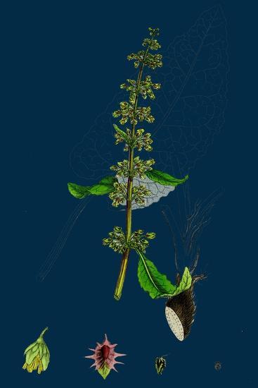 Hieracium Pilosella; Mouse-Ear Hawkweed--Giclee Print