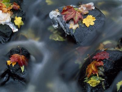 High Angle View of Maple Leaves and Rocks in a Stream--Photographic Print