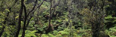 High Angle View of Trees in a Rainforest, Hawaii Volcanoes National Park, Hawaii, USA--Photographic Print
