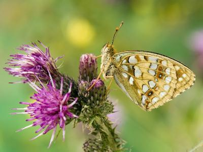 High Brown Fritillary Butterfly on Thistle, UK-Andy Sands-Photographic Print