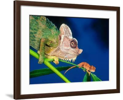 High Casque Chameleon with Young, Native to Eastern Africa-David Northcott-Framed Photographic Print