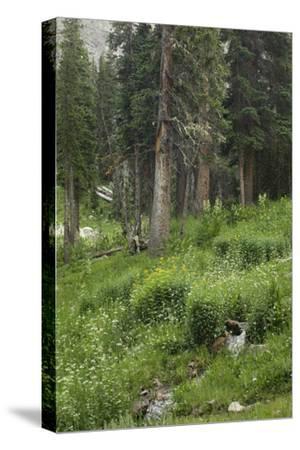 High Meadow Along the Trampas Lakes Trail in the Pecos Wilderness, Sangre De Cristo Mountains