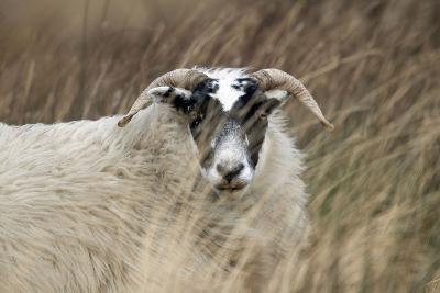 Highland Blackface Sheep--Photographic Print