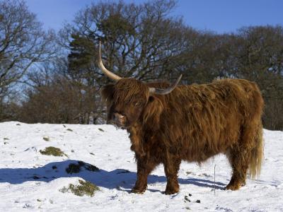 Highland Bull in Snow, Conservation Grazing on Arnside Knott, Cumbria, England-Steve & Ann Toon-Photographic Print