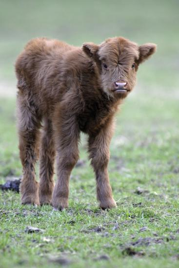 Highland Calf in Meadow, Looking Inquisitive--Photographic Print