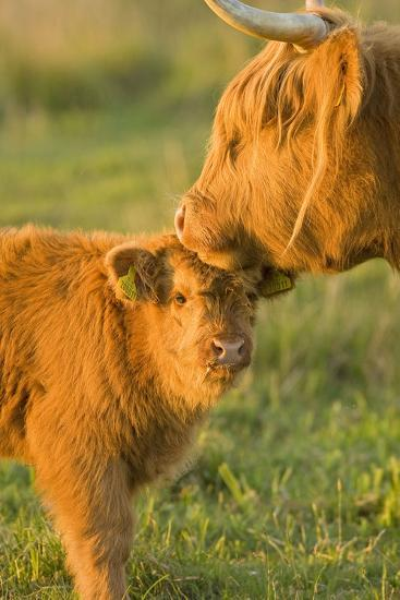 Highland Cattle, Adult with Young--Photographic Print