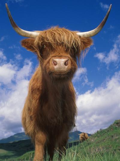 Highland Cattle Bull Portrait, Scotland, UK-Niall Benvie-Photographic Print