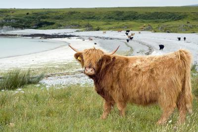 Highland Cattle by the Sea-Duncan Shaw-Photographic Print