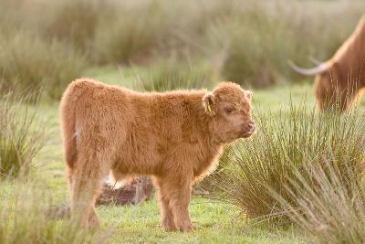 Highland Cattle Calf on Grazing Marsh--Photographic Print