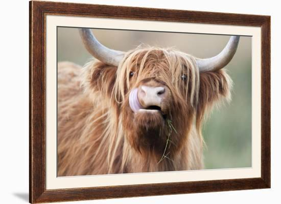 Highland Cattle Chewing on Grass--Framed Photographic Print