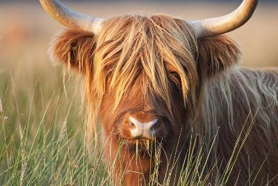 Highland Cattle Chewing on Grass--Photographic Print