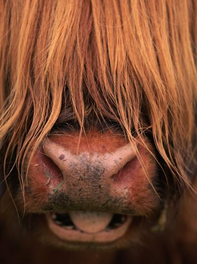 Highland Cattle, Head Close-Up, Scotland-Niall Benvie-Photographic Print