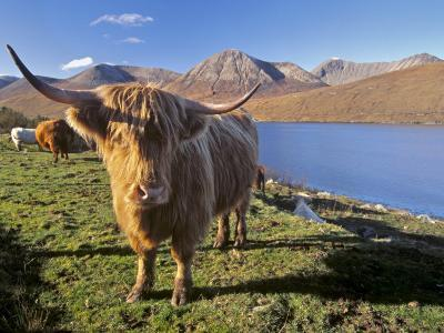 Highland Cattle, Loch Hainort and Red Cuillins, Isle of Skye, Inner Hebrides, Scotland-Patrick Dieudonne-Photographic Print