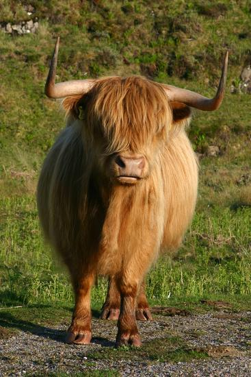 Highland Cattle, Scotland-Peter Thompson-Photographic Print