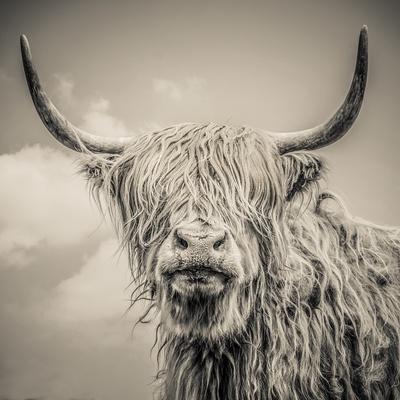 Highland Cattle-Mark Gemmell-Premium Photographic Print