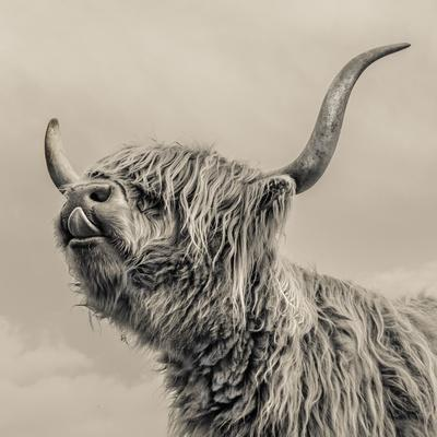 https://imgc.artprintimages.com/img/print/highland-cattle_u-l-pz0iiu0.jpg?p=0