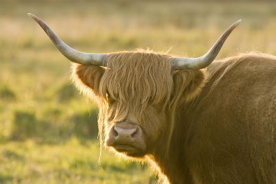 Highland Cattle--Photographic Print