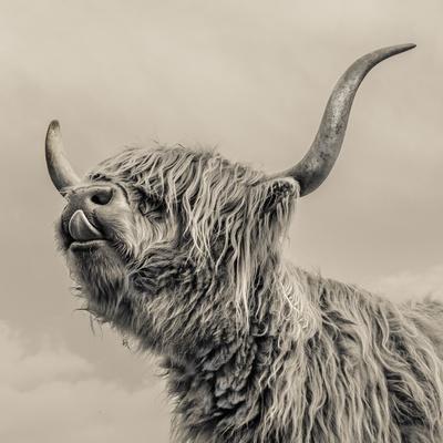 https://imgc.artprintimages.com/img/print/highland-cattle_u-l-q1g8qb70.jpg?p=0