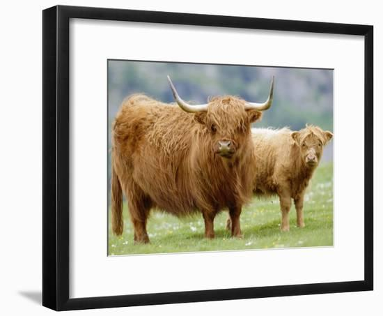 Highland Cow and Calf, Strathspey, Scotland, UK-Pete Cairns-Framed Photographic Print