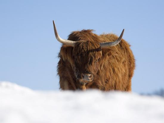 Highland Cow in Snow, Conservation Grazing on Arnside ... - photo#18