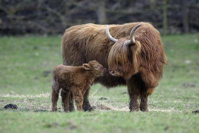 Highland Cow with Calf Calf Seeks Contact from Mother--Photographic Print