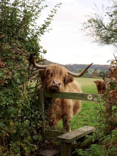 Highland Cow-Tek Image-Photographic Print