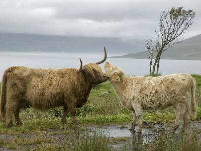 Highland Cows Courting and Grooming, Scotland-Ellen Anon-Photographic Print