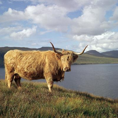Highland Cows on the Isle of Skye-CM Dixon-Photographic Print