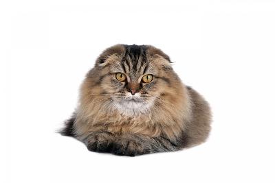 Highland Folt Cat-Fabio Petroni-Photographic Print