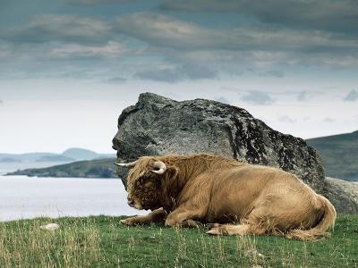 Highlander Bull--Photographic Print