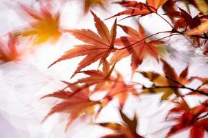 Maple by higrace photo