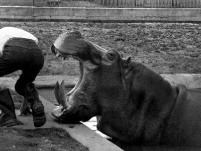 Hilda the Humorous Hippo Joking with Zoo Keeper in Phoenix Park Zoo, Dublin, June 1969